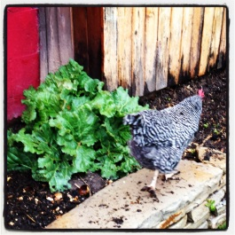 One of our five hens off to work (she has a very determined stride, no?)